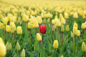 Image shows a single red tulip among yellow telips representing Adssets through on one advertising trend for 2021, personalization.